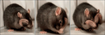 råttan gun